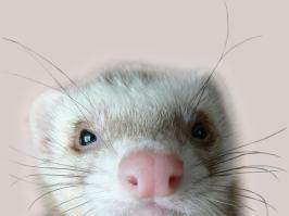cute-pet-ferret-wallpaper-2.jpg