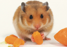 hamster.png
